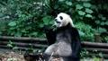 ジャイアントパンダ(中国-成都大熊猫繁育研究基地) 25215459