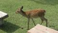 Deer in Nara Park 25366180
