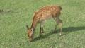 Deer in Nara Park 25366181