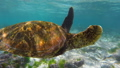 Close up of sea turtle swimming in shallow water 25369155