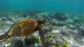 Wild sea turtle swimming underwater in galapagos 25369157