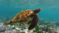 Wild sea turtle swimming to the surface for air 25369158