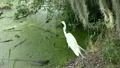 Great Egret fishing  25374361