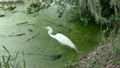 Great Egret fishing  25374362