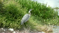 Great Blue Heron near lake cooling off 25374368