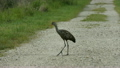 Mother and Baby Limpkins in Florida Wetlands 25374369