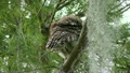 Barred Owl Perches on a Branch in Florida Wetlands 25374371