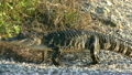 American Alligator walking  25374374
