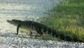American Alligator walking  25374375