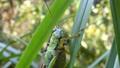 ススキの葉を食べるコバネイナゴ4 ティルトダウン ティルトアップ 通常速度 クローズアップ 無音 25555453