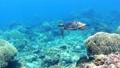 沖繩島Akajima綠海龜的水下攝影 25868999