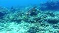 沖繩島Akajima綠海龜的水下攝影 25881104