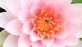 ハス 蓮 ハチの動画 25916023