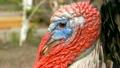 wild turkey Portrait of big blinking eyes convex 26282210