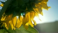 Sunflower flower in the glare of the sun nature 26282250