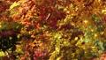 楓樹 紅楓 楓葉 26364594