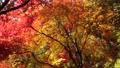 楓樹 紅楓 楓葉 26364596