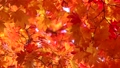 揺れるモミジの葉(野鳥のさえずり) 26388717