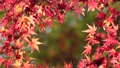 枫树 枫叶 红枫 26486567