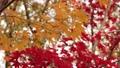枫树 枫叶 红枫 26486568