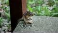 ヒマワリの種を食べるシマリス 26646329
