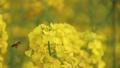菜の花とミツバチ 26693790