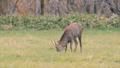 hokkaido, sika, deer 26762105