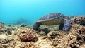 海藻吃海龟水下摄影固定 26974095