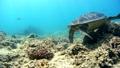 海藻吃海龜水下攝影固定 26974101