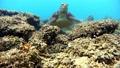 修复了吃珊瑚的绿海龟冲绳Akajima 26990485