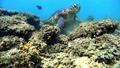 修復了吃珊瑚的綠海龜沖繩Akajima 26990487