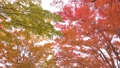 maple, autumn leaves, autumnal tints 26998419