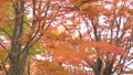 maple, autumn leaves, autumnal tints 26998420
