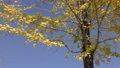 autumn leafe, yellow leafe, ginkgo 26998425