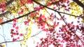 枫树 枫叶 红枫 26998426
