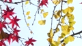maple, yellow leafe, autumn leafe 26998427