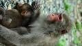 野生猴子的父母和孩子·在保護胸部兒童的同時用餐親子/野生猴子的垂直位置 27120867
