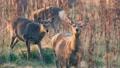 hokkaido sika deer 27201113