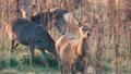 hokkaido, sika, deer 27201117