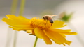 Focusing honey bee collecting nectar on flower 27245717