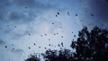 flock of crows flying over the trees 27249573
