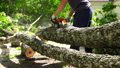 Man sawing the trunk of maple tree in garden with 27270797