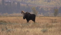 Shiras Bull Moose in Rut 27308765