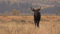 Shiras Bull Moose in Rut 27308766