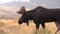 Bull Shiras Moose 27339925