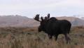 Bull Shiras Moose 27339926