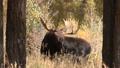 Bull Shiras Moose 27339927