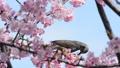 벚꽃과 직박구리 푸른 하늘 배경 27406245