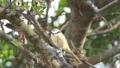 伯勞鳥 27512258