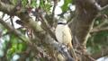 伯勞鳥 27512259